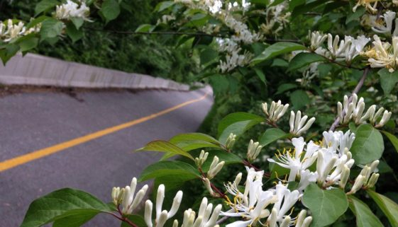 Veteran's Memorial Bike Path Honeysuckle